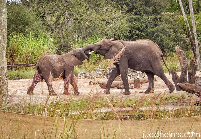 A mother and baby elephant playing at Kilimanjaro Safari