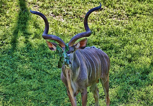 See a Kudu in a Savanna View Room at the Animal Kingdom Lodge