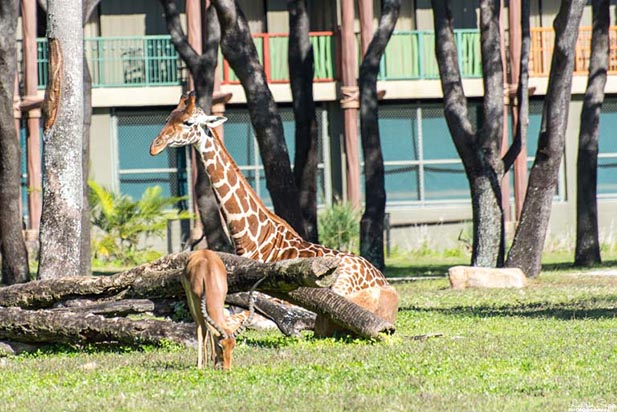 Check out the animals on the Savannah at Animal Kingdom Lodge like this giraffe